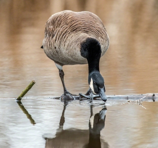 Canada Goose at Union Bay, Seattle.(copyright Glenn Nelson)