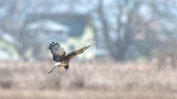 A Northern Harrier spots prey.(copyright Glenn Nelson)