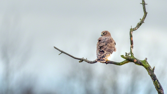 A Northern Harrier at Padilla Bay(copyright Glenn Nelson)