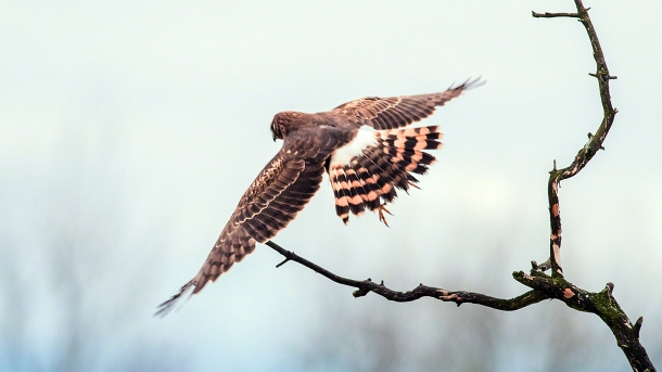 A Northern Harrier takeoff.(copyright Glenn Nelson)