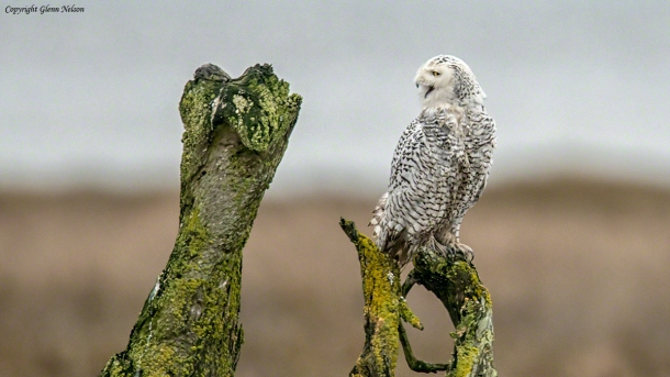 "Rattled, the Snowy Owl cries its intent, ""I'm outta here!"""