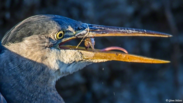 Last moments of a fish's life in the mouth of a Great Blue Heron.