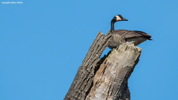 Canada Goose up in a tree at Nisqually National Wildlife Refuge.
