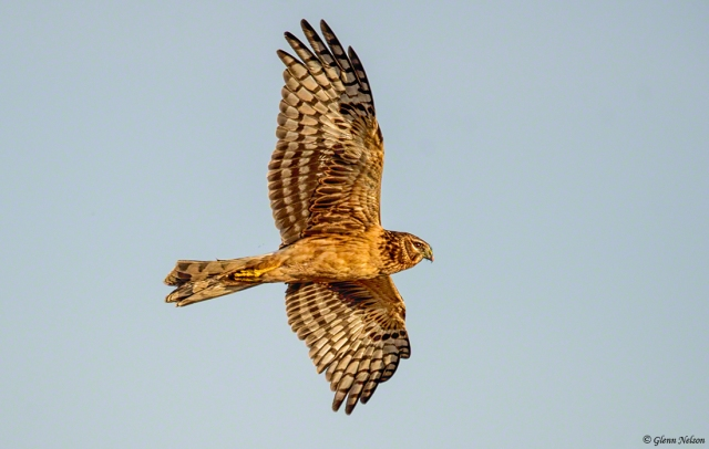 I couldn't find Short Eared Owls, but I found a Northern Harrier and great light.