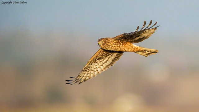 Northern Harrier at dusk, near the Samish Flats at West 90.