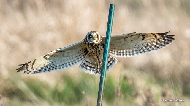 The next frame after this was my best pic of a Short-Eared Owl.