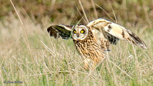 Short-Eared Owls will spend a lot of time on the ground.