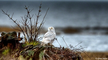 A Snowy Owl at Boundary Bay in HDR.
