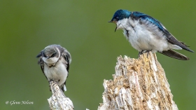A scene from an interaction between a Tree Swallow juvenile and its mother.