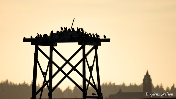 Cormorants gather on a platform in the Straight of Juan de Fuca.