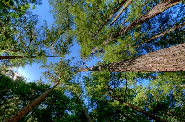 A view of the cedars in the old-growth forest near Marymere Falls.