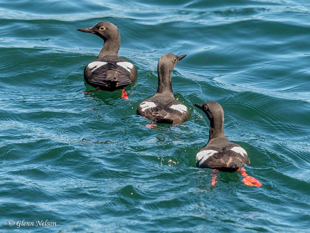 Pigeon Guillemot siblings, Fort Warden State Park.