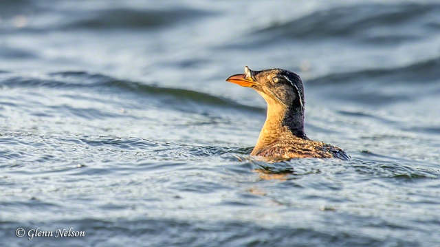 Rhinoceros Auklet -- can you guess where they get their name?