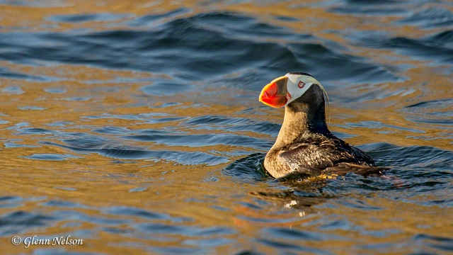 Tufted Puffin off Protection Island.