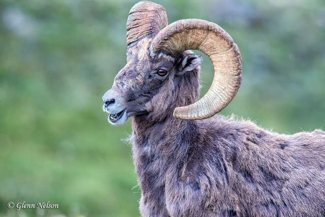 A male Big Horn Sheep, along Trail Ridge Road in Rocky Mountain National Park.