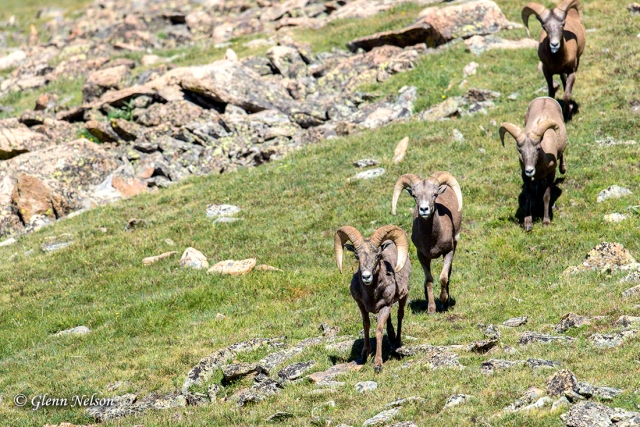 Bighorn Sheep file into an area for mineral-rich mud.