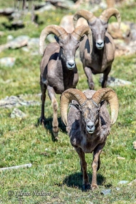The first Bighorn to arrive near the mineral-reach mud lick.