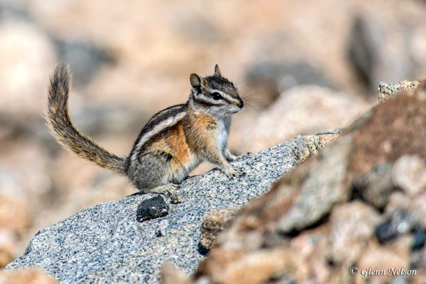 A Least Chipmunk along Trail Ridge Road in Rocky Mountain National Park.