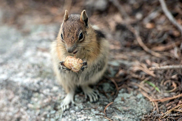 This Golden Mantled Squirrel brought its own food to the party; it's illegal to feed them.