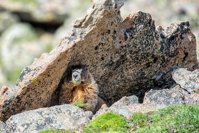 A male Marmot is keeping an eye on his competition from relative safety.