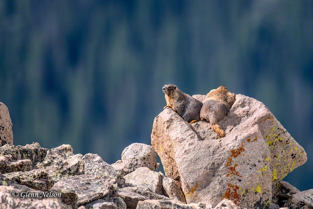 Yellow-Bellied Marmots sun on a boulder with a grand view.