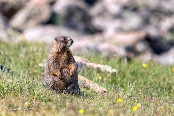 A Yellow-Bellied Marmot chills along Trail Ridge Road in Rocky Mountain National Park.