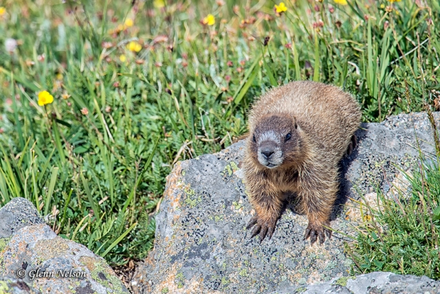 A young Yellow-Bellied Marmot along Trail Ridge Road.