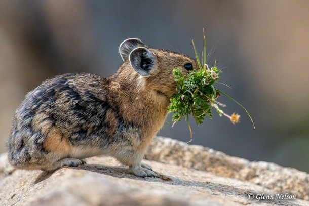 This Pika looks like it caught the bouquet at a wedding.