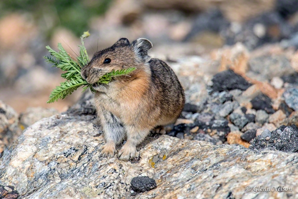 Its mouth full of winter nourishment, a Pika stops for a split second.