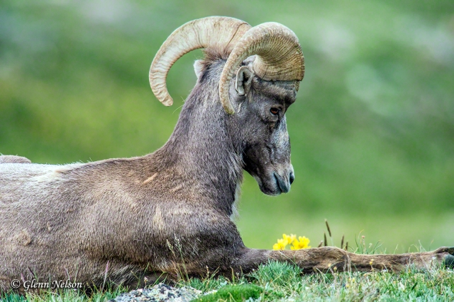 A young Bighorn Sheep seems to be stopping to smell the wildflowers.