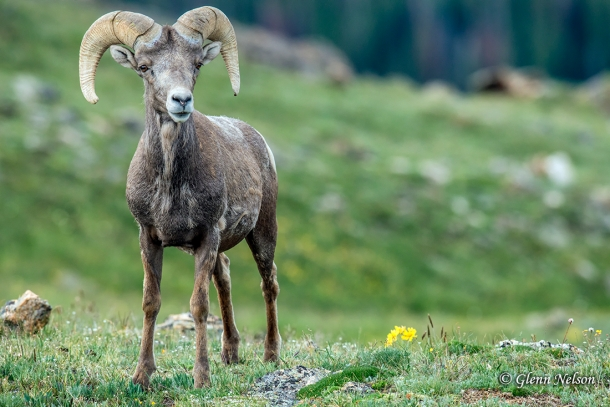 The young ram along Trail Ridge Road in Rocky Mountain National Park.