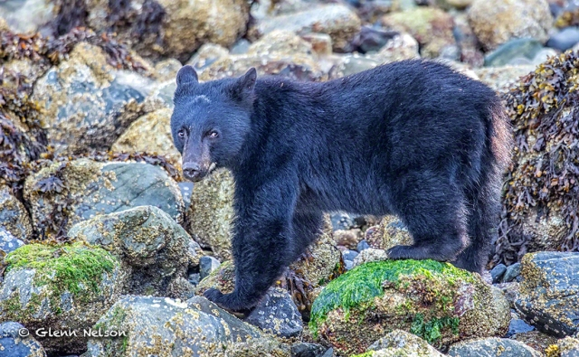 A Black Bear foraging for crabs on Meares Island.