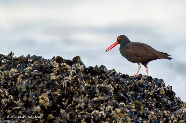 A Black Oystercatcher feeds off muscle-festooned rocks at low tide.
