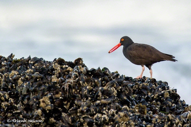 A Black Oystercatcher feeds off muscle-festooned rocks at low tide.