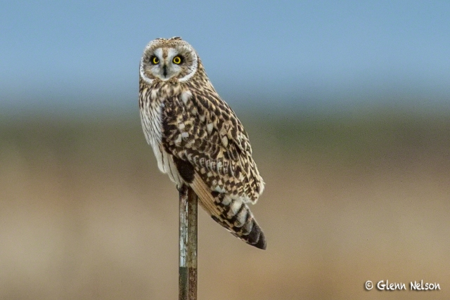 A Short-Eared Owl on Samish Flats.