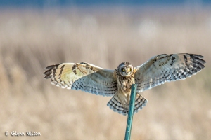 A Short-Eared Owl landing at Samish Flats.