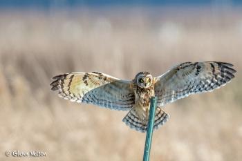 A Short-Eared Owl landing at Samish Flats.