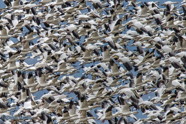 Thousands of Snow Geese make the mutual decison to leave.