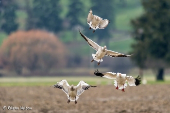 A family of Snow Geese glide in for a landing.