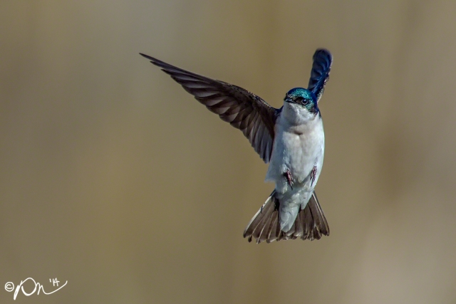 A Tree Swallow changes course in mid-flight.