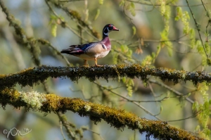 A male Wood Duck at Nisqually National Wildlife Refuge.