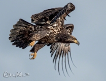 FEBRUARY: A juvenile Bald Eagle scans the Samish Flats for a snack.