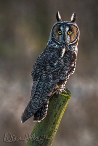 One of the Long-Eared Owls, at dusk.