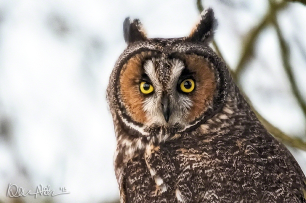 Long-Eared Owls rarely range west of the Cascades.