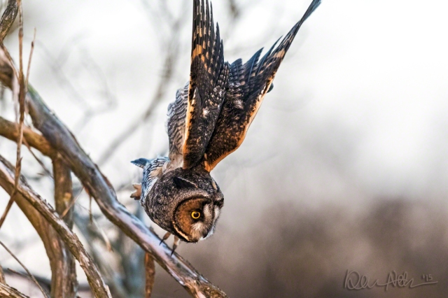 A Long-Eared Owl, striking at prey.
