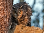 FEB: Long-Eared Owl.